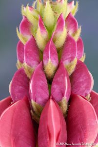 Lupinus polyphyllus, le Lupin polyphylle -3-