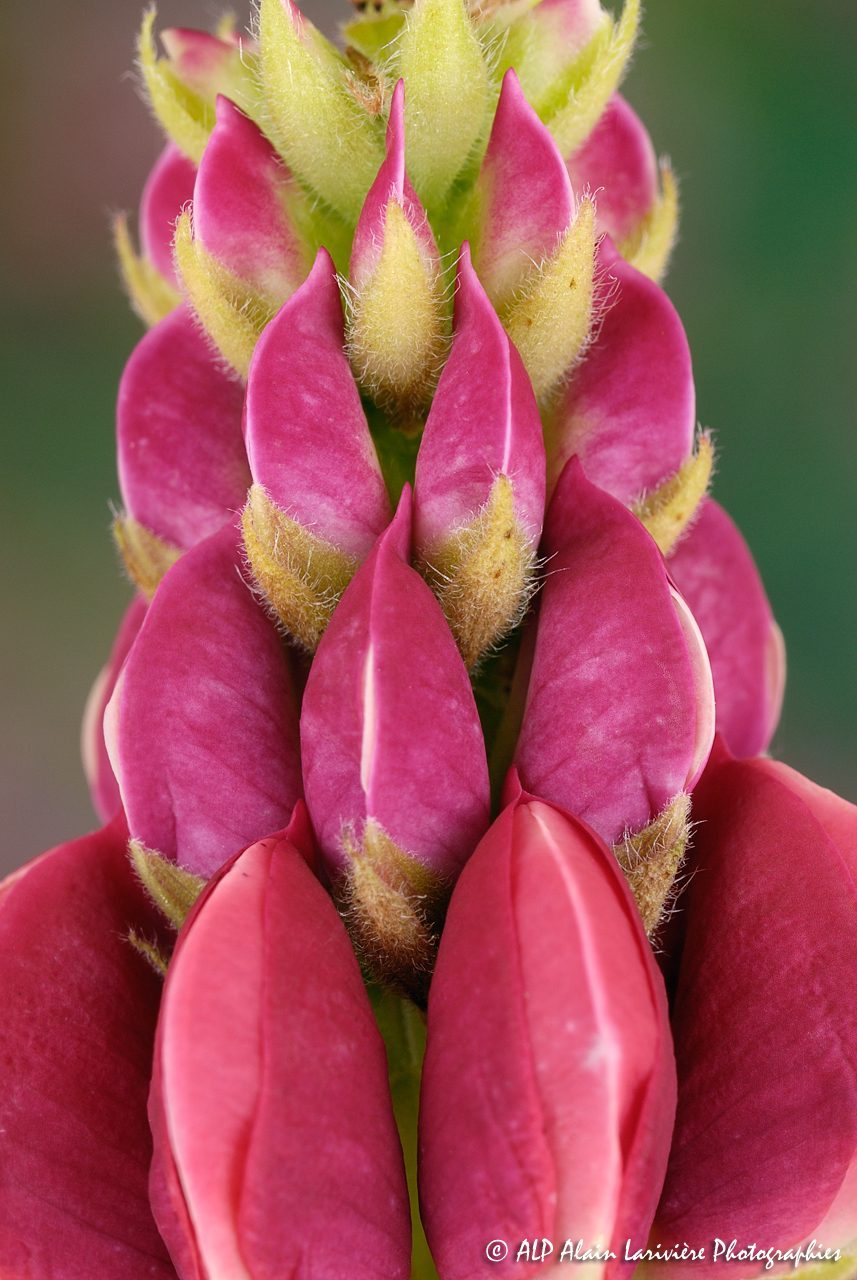 Lupinus polyphyllus, le Lupin polyphylle -4-