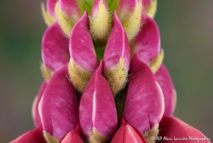 Lupinus polyphyllus, le Lupin polyphylle -7-