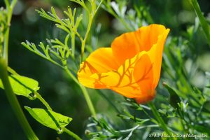 Eschscholzia californica, le Pavot de Californie -1-