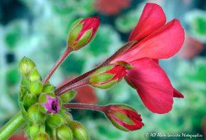 Pelargonium zonale, le Pélargonium à feuilles zonées -9-