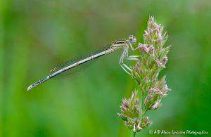Platycnemis pennipes, l'Agrion à larges pattes -R-