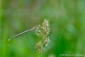 Platycnemis pennipes, l'Agrion à larges pattes -1-
