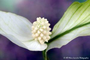 Spathiphyllum, le Spathiphylle -9-