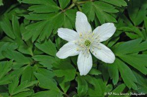 Anemone nemorosa, l'Anémone sylvie -1-