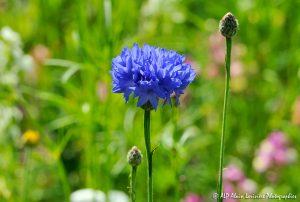 Centaurea cyanus, le Bleuet -1-