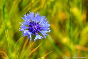 Centaurea cyanus, le Bleuet -15-