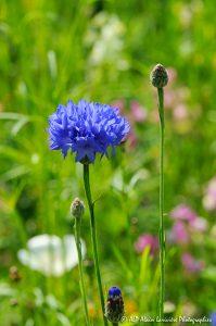 Centaurea cyanus, le Bleuet -2-