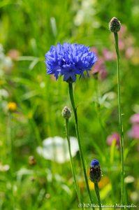 Centaurea cyanus, le Bleuet -3-