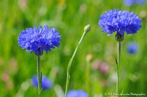 Centaurea cyanus, le Bleuet -4-