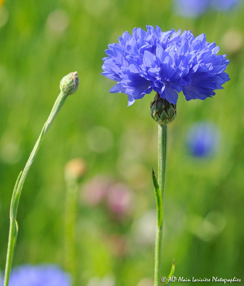 Centaurea cyanus, le Bleuet -4R-