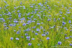 Centaurea cyanus, le Bleuet -16-