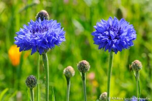 Centaurea cyanus, le Bleuet -6-