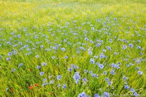 Centaurea cyanus, le Bleuet -17-