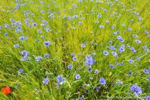 Centaurea cyanus, le Bleuet -18-