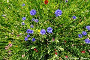 Centaurea cyanus, le Bleuet -7-
