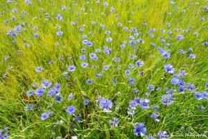 Centaurea cyanus, le Bleuet -19-