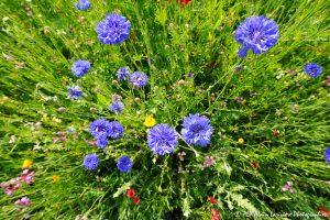 Centaurea cyanus, le Bleuet -8-
