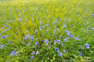 Centaurea cyanus, le Bleuet -20-