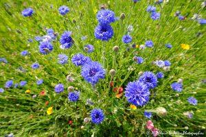 Centaurea cyanus, le Bleuet -9-
