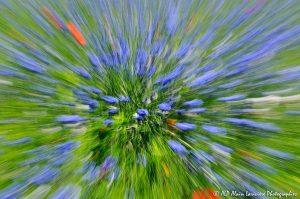 Centaurea cyanus, le Bleuet : Filé végétal -10-