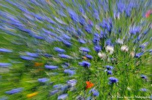 Centaurea cyanus, le Bleuet : Filé végétal -11-