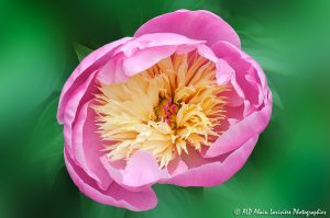 Paeonia lactiflora, la Pivoine de Chine -1a-