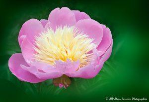 Paeonia lactiflora, la Pivoine de Chine -2-