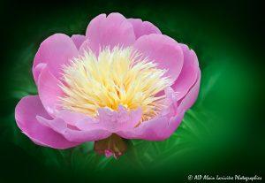 Paeonia lactiflora, la Pivoine de Chine -2a-