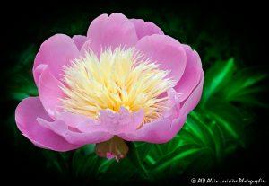 Paeonia lactiflora, la Pivoine de Chine -2b-