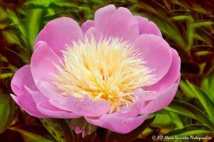 Paeonia lactiflora, la Pivoine de Chine -3-