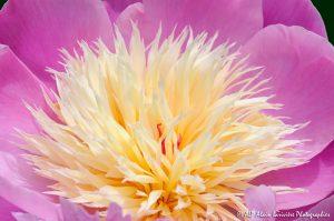 Paeonia lactiflora, la Pivoine de Chine -4-