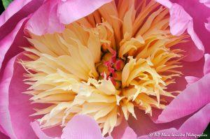 Paeonia lactiflora, la Pivoine de Chine -5-
