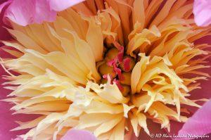 Paeonia lactiflora, la Pivoine de Chine -6-
