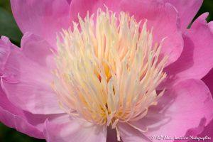 Paeonia lactiflora, la Pivoine de Chine -8-