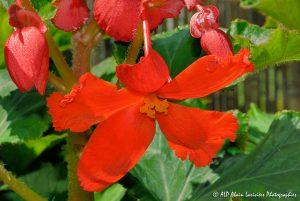 Begonia hybride, le Bégonia prima donna orange -1-