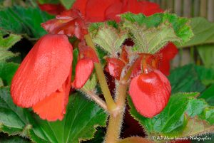 Begonia hybride, le Bégonia prima donna orange -2-