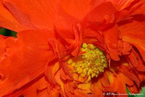 Begonia hybride, le Bégonia prima donna orange -3-