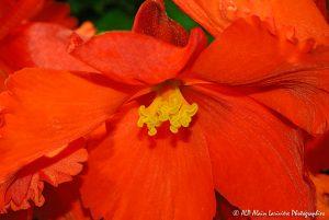 Begonia hybride, le Bégonia prima donna orange -4-