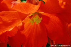 Begonia hybride, le Bégonia prima donna orange -5-