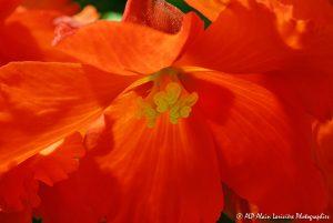 Begonia hybride, le Bégonia prima donna orange -6-
