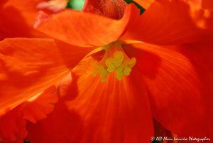 Begonia hybride, le Bégonia prima donna orange -7-