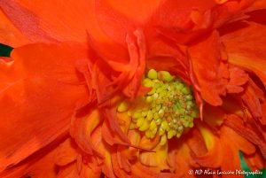 Begonia hybride, le Bégonia prima donna orange -9-