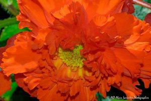 Begonia hybride, le Bégonia prima donna rouge -10-