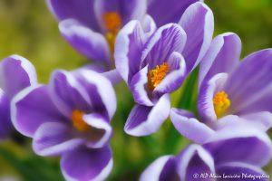 Crocus sativus, le Crocus domestique (Bouquet de Crocus sativus) -1-