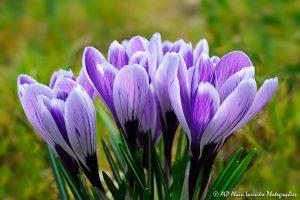 Crocus sativus, le Crocus domestique (Bouquet de Crocus sativus) -2-