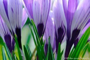 Crocus sativus, le Crocus domestique (Bouquet de Crocus sativus) -3-