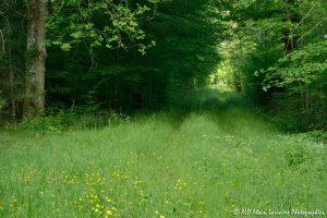 Chemin boisé -1-