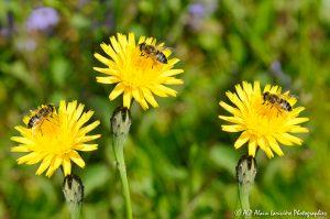 Eristalis tenax, l'Eristale tenace sur fleur de Crépis (montage) -1-