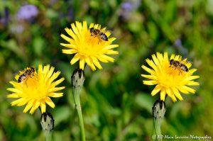 Eristalis tenax, l'Eristale tenace sur fleur de Crépis (montage) -1M-